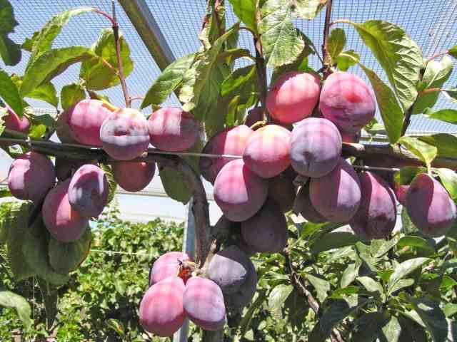 Foto Ihsan : Rare Fruit Society
